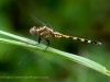 South Luangwa, Zambia, dragon fly,  emerald season © David Rogers