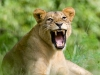 South Luangwa, Zambia, emerald season, lioness amongst the grass © David Rogers