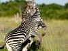 South Luangwa, Zambia, emerald season, two zebra fighting  © David Rogers