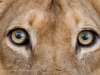 Zambia, South Luangwa, close up shot of the eyes of a lioness © David Rogers