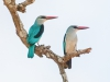 Zambia, South Luangwa National Park, woodland kingfisher pair, Zambia