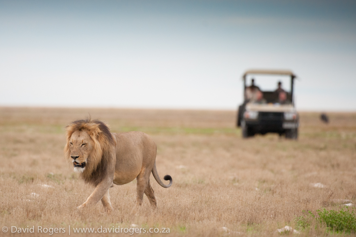 Zambia, Liuwa Plains National Park, male lion
