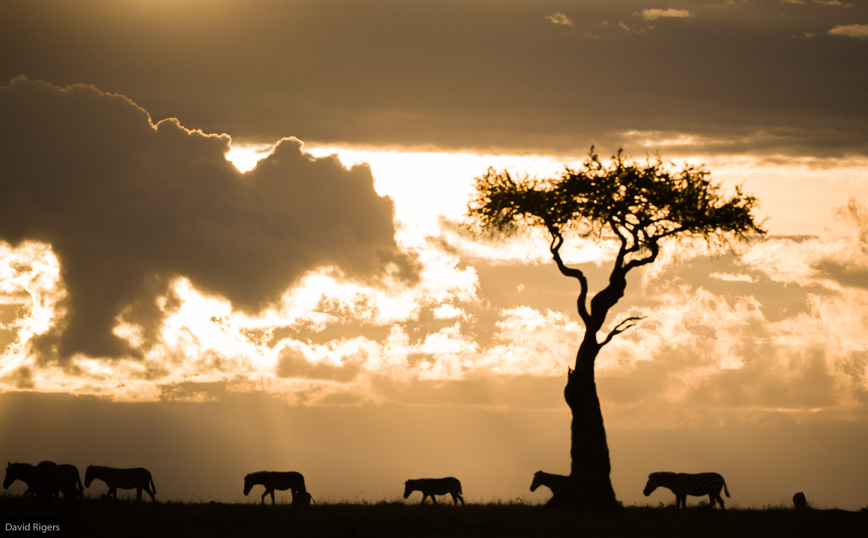 Kenya, Masai Mara National Park, Silhouettes of animals walking in the wild. ©David Rogers