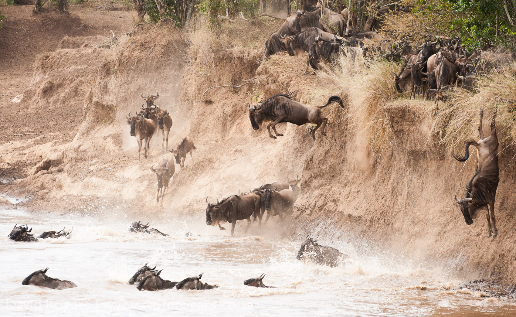Kenya, Masai Mara, wildebeest, Main Crossing.