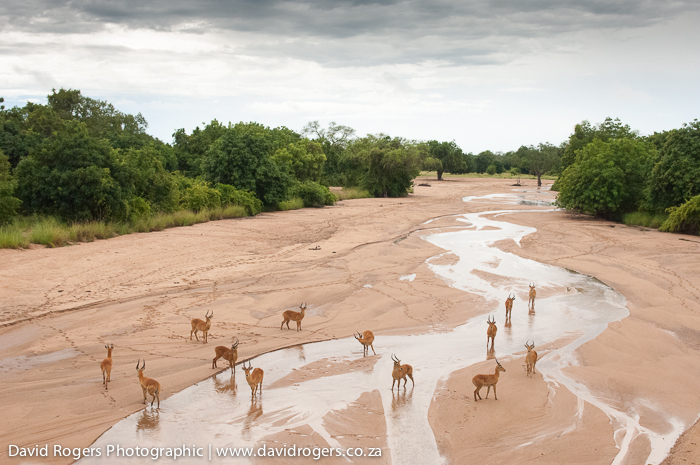 South Luangwa, Emerald Season Photographic Workshop, Zambia, puku, antelope