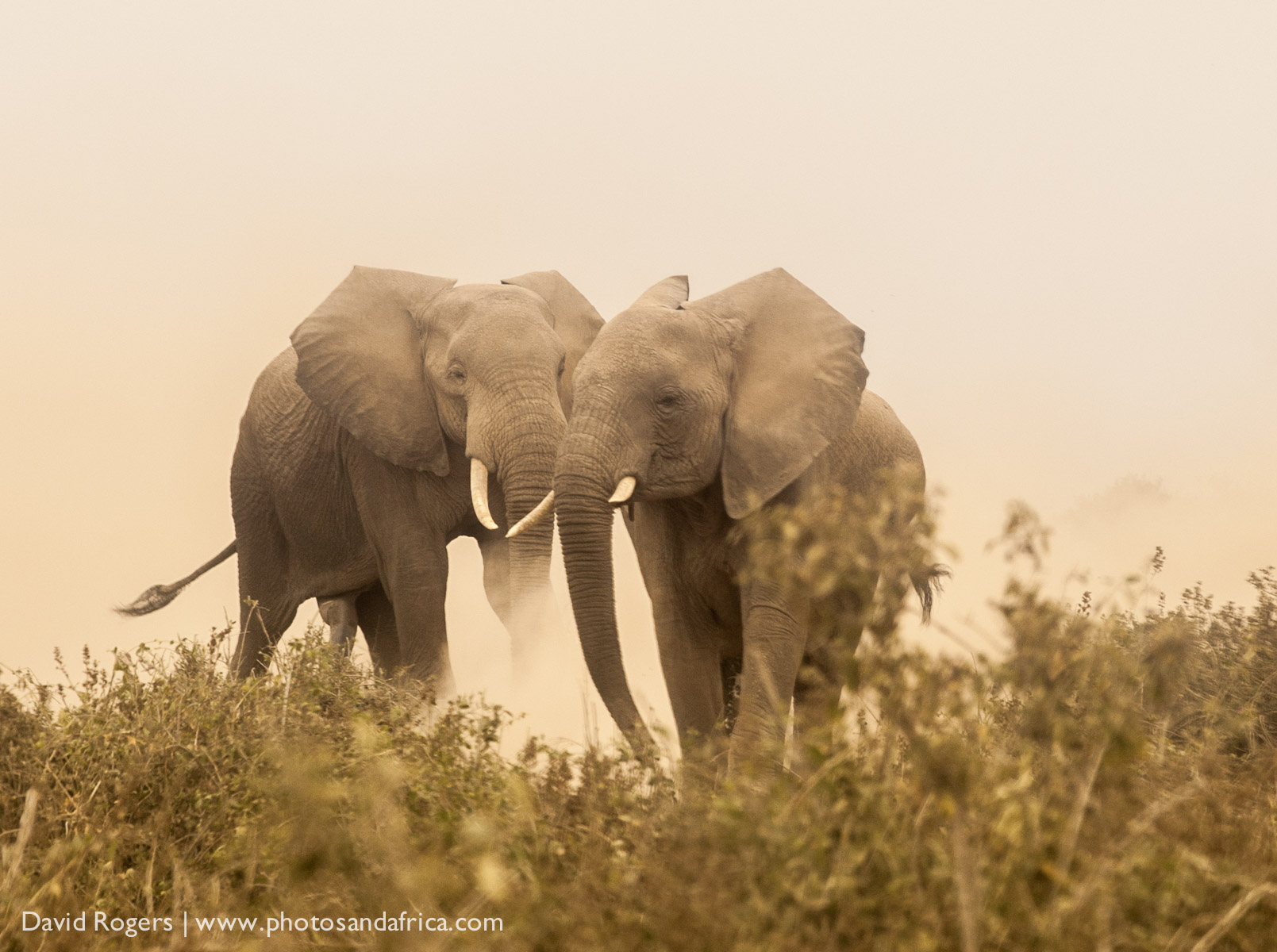 Kenya, Amboseli National Park, a group of two elephants in the dust. ©David Rogers