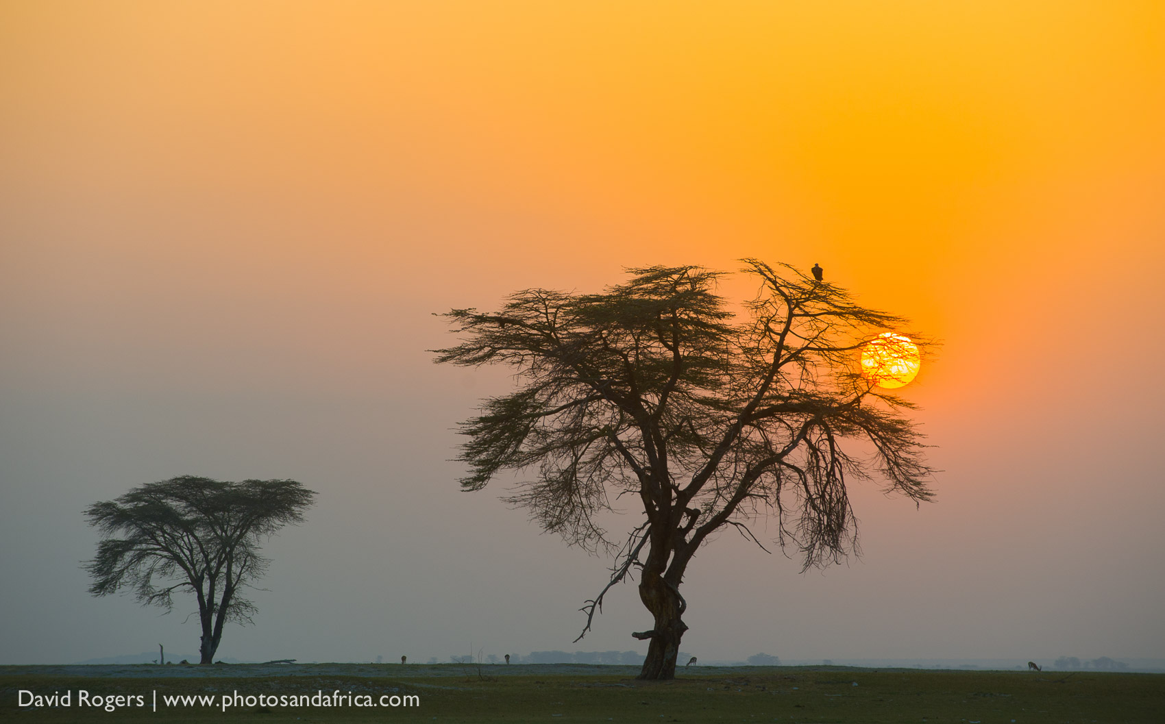 Kenya, Amboseli National Park, landscape with sunseting in the background with the silhoette of two Acacia Trees. ©David Rogers