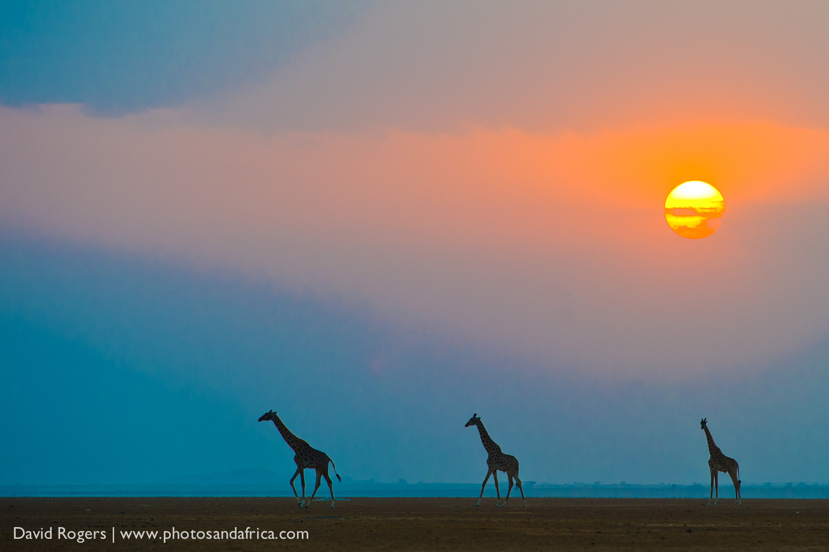 Kenya, Amboseli National Park, sunset with the silhouettes of three giraffe ©David Rogers