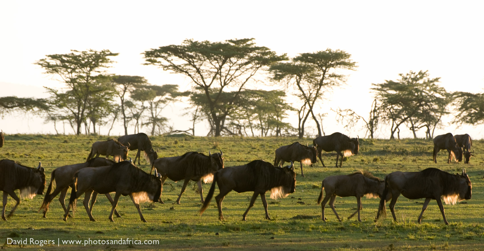 Kenya, Masai Mara National Park, A group of Wildebeest walking in the wild ©David Rogers