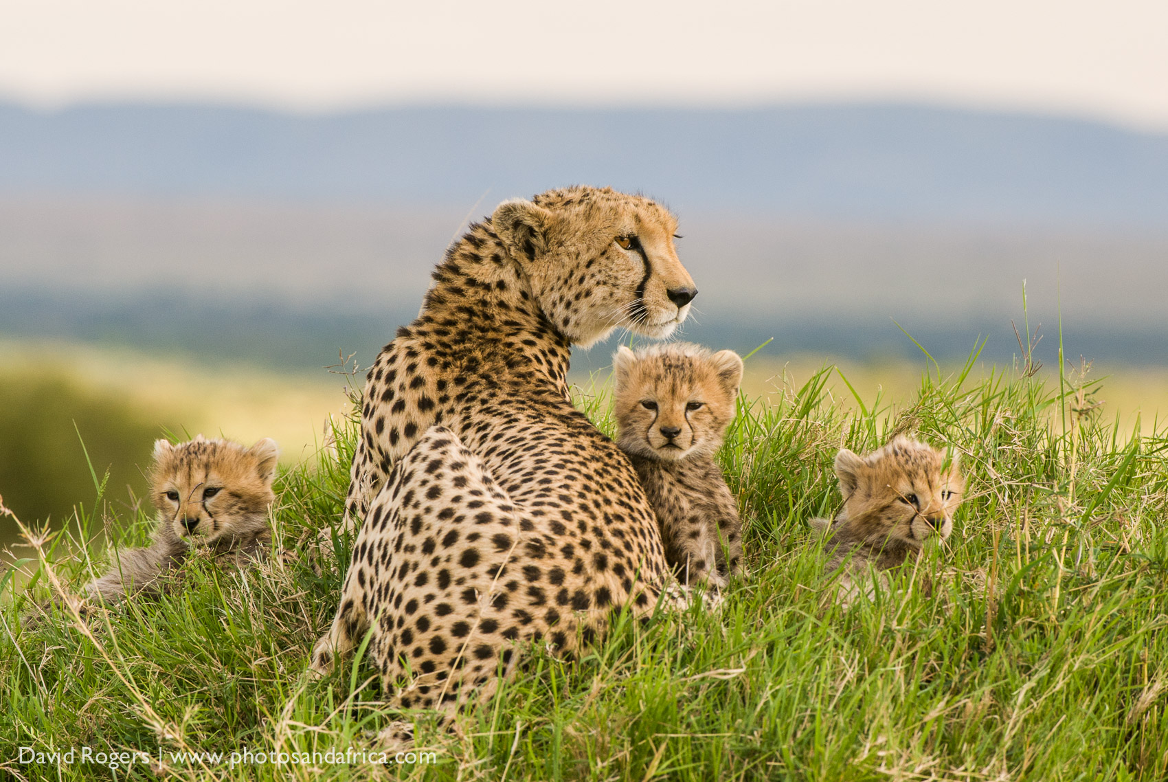 Kenya, Masai Mara National Park, Acheetah sitting in the grass with three young cubs. ©David Rogers