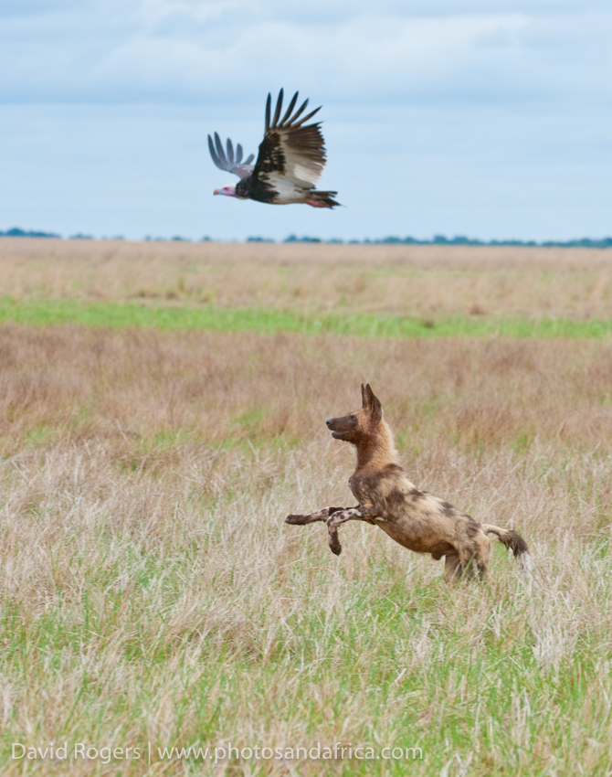 Zambia, Liuwa Plains National Park, wild dog and vulture
