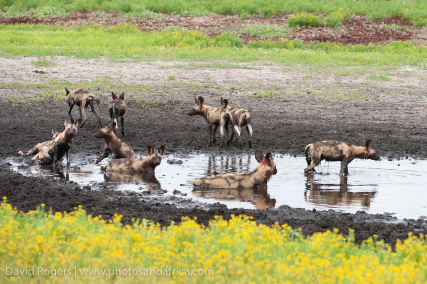 Zambia, Liuwa Plains National Park, wild dog