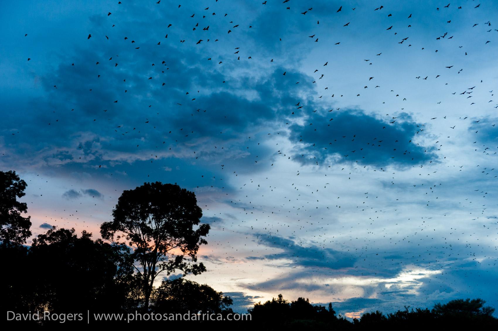 Kasanka Bats, Zambia
