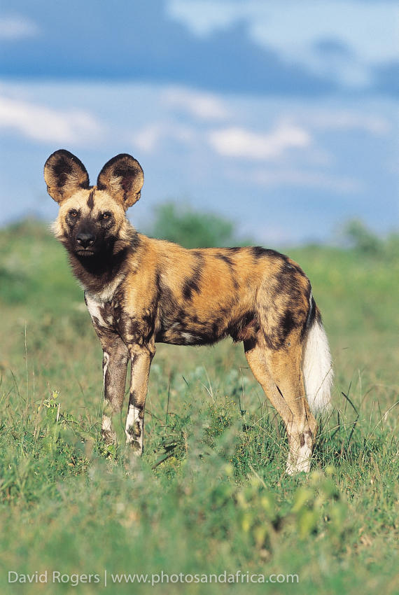 Northwest Province, Madikwe Game Reserve, wild dog. From Safari in Style Southern Africa © David Rogers