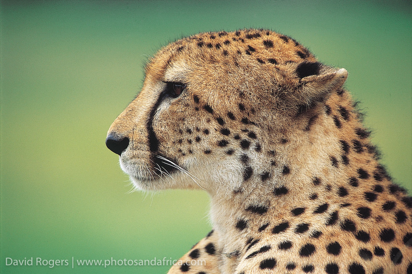 Northwest Province, Madikwe Game Reserve, cheetah. From Safari in Style Southern Africa © David Rogers