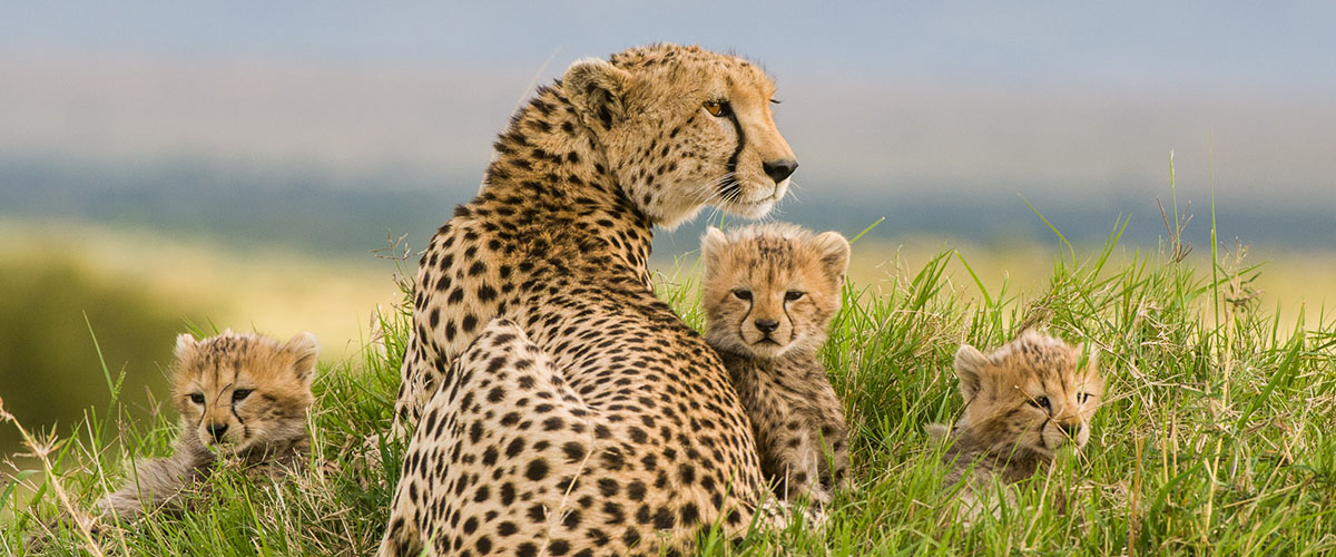 Kenya, Masai Mara National Park, Acheetah sitting in the grass with three young cubs. ©David Rogers