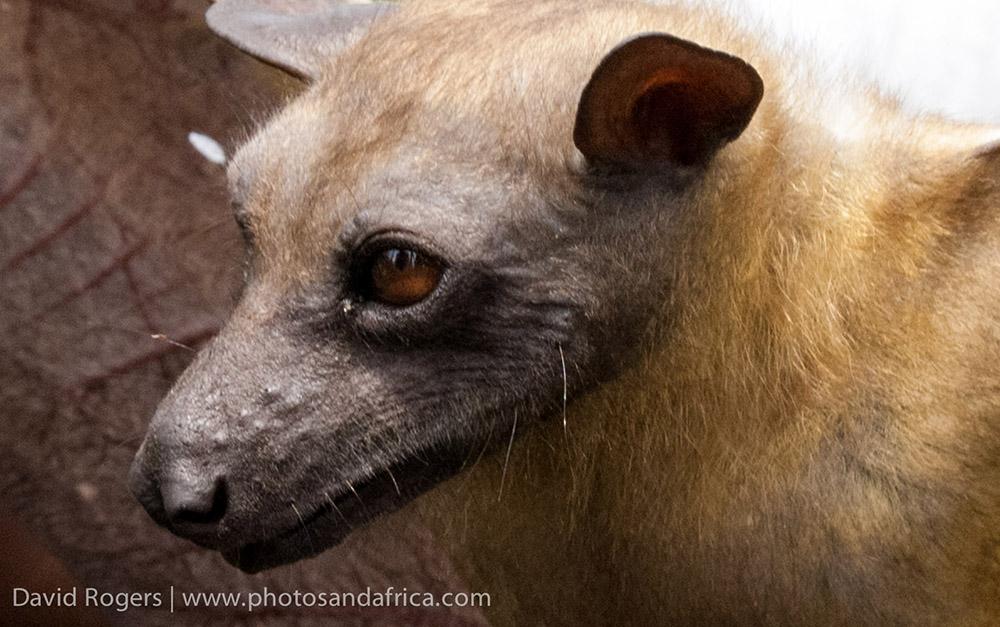 Kasanka fruit bat