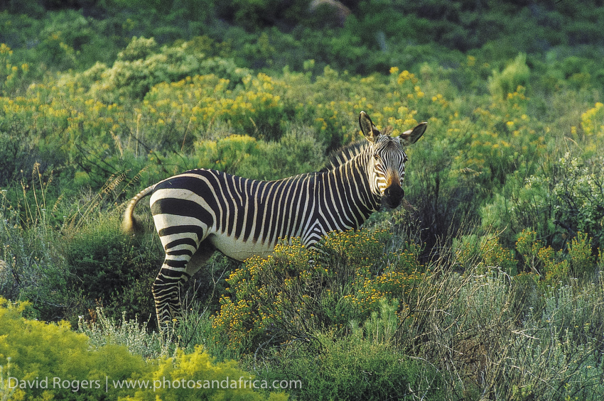 South Africa, Western Cape, Bushmanskloof, Cape Mountain Zebra, rare species. from the book Safari in Style Southern Africa. © David Rogers/iAfrica