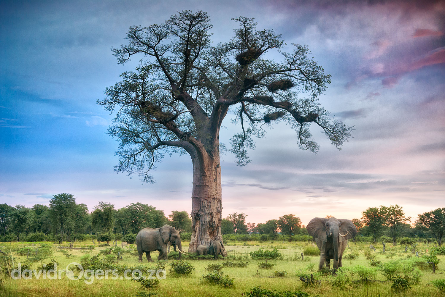 David Rogers picture of a baobab and elephants in South Luangwa on a workshop