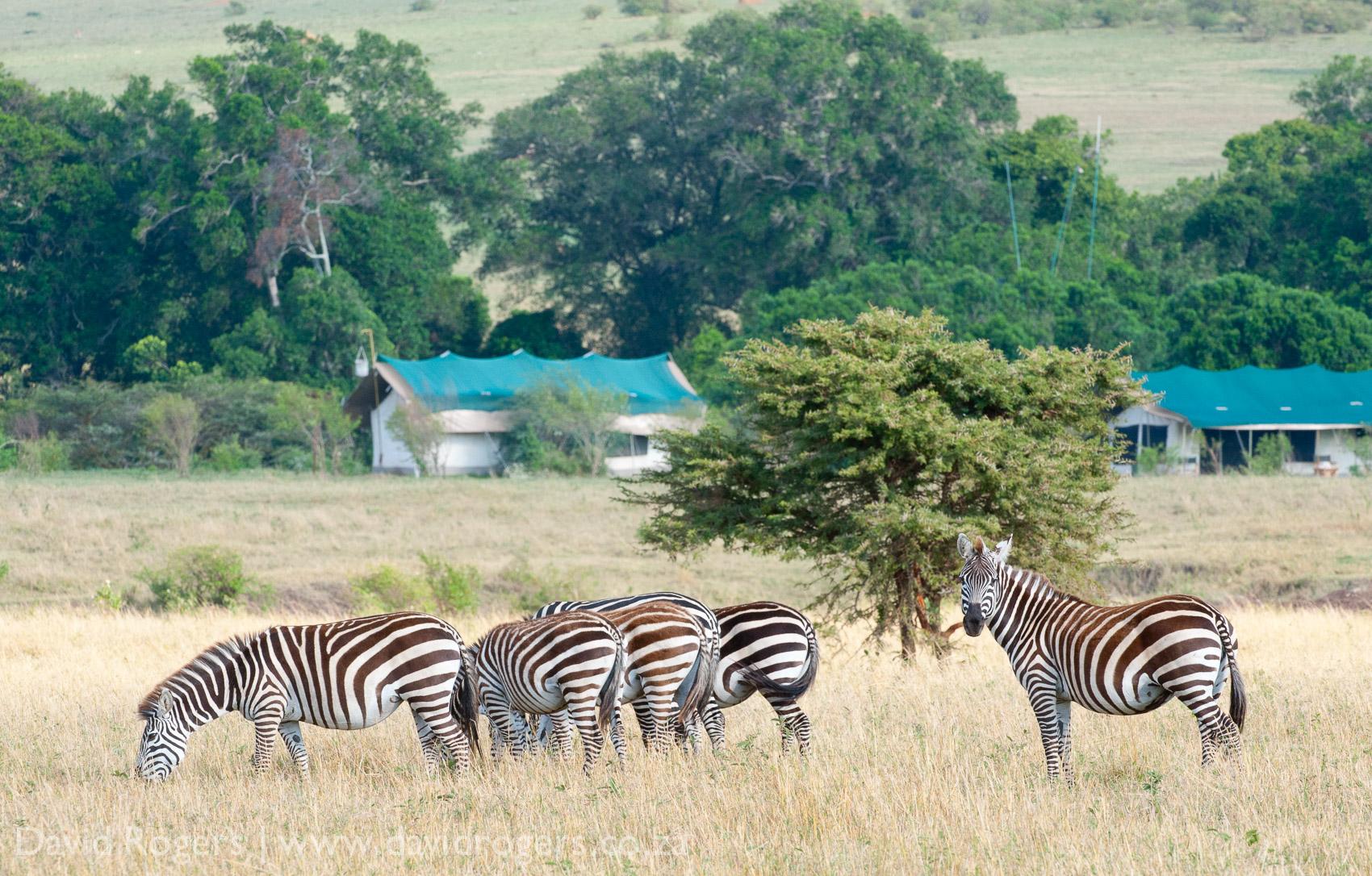 Mara Lion Camp, Porini, Masai Mara