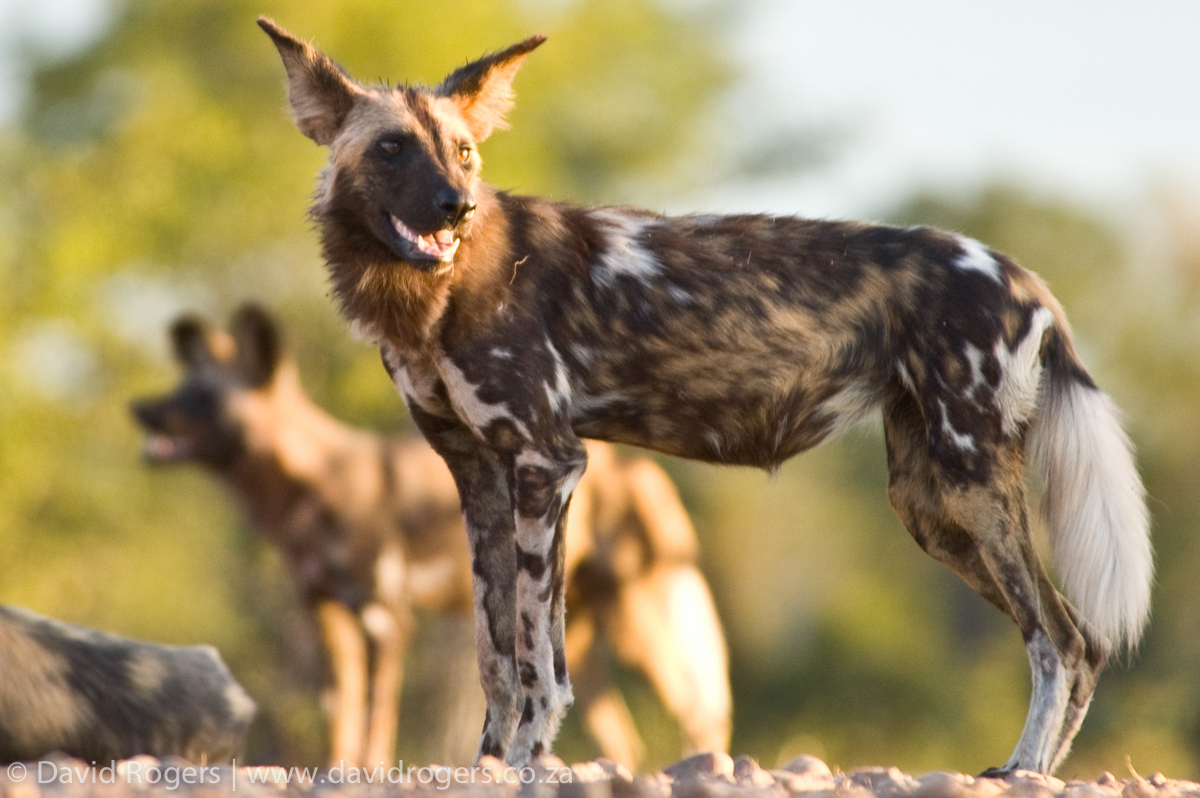 Zambia, South Luangwa, group of wild dogs on a road © David Rogers