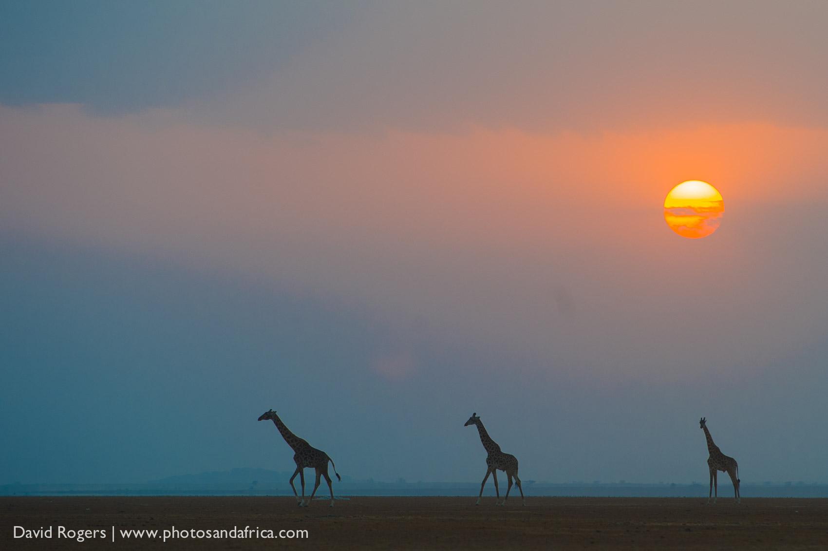 Kenya, Amboseli National Park, sunset with the silhouettes of three giraffe ©David Rogers