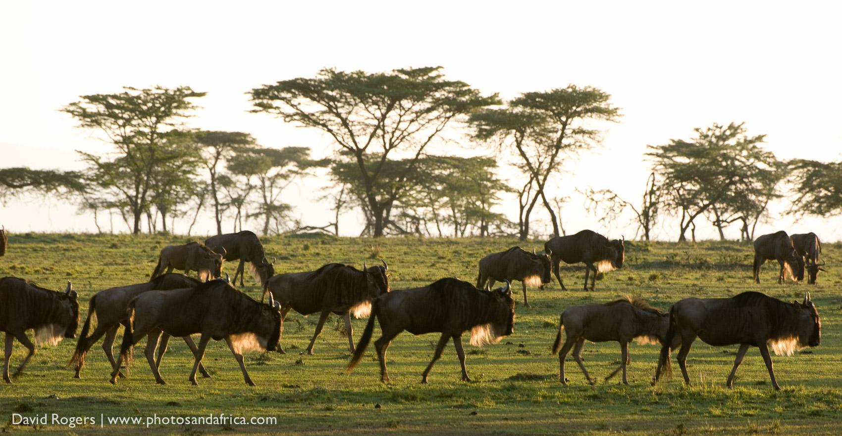 Kenya, Masai Mara National Park, A group of Wildebeest walking in the wild ©David Rogers