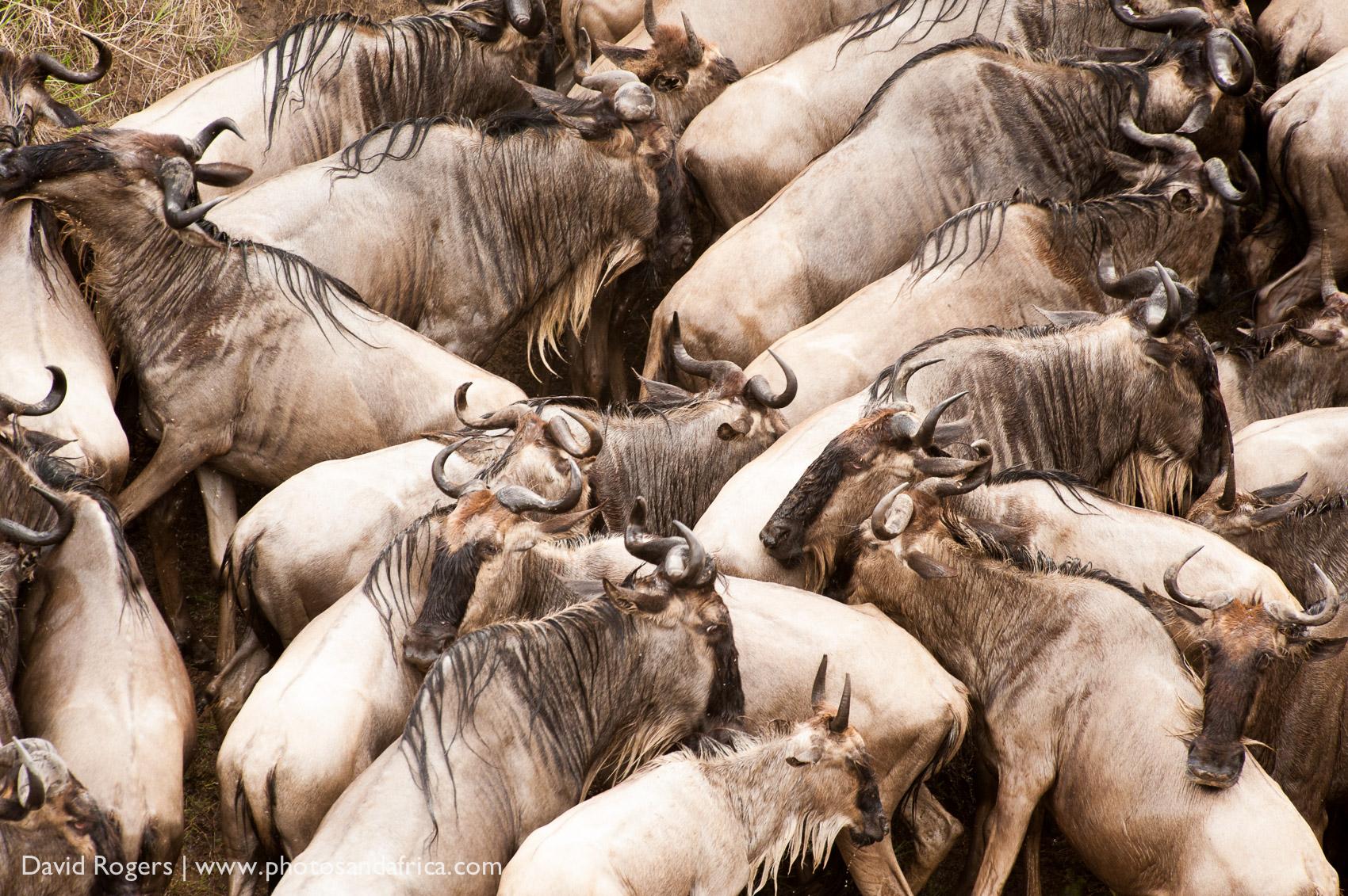 Kenya, Masai Mara, wildebeest, Main Crossing.