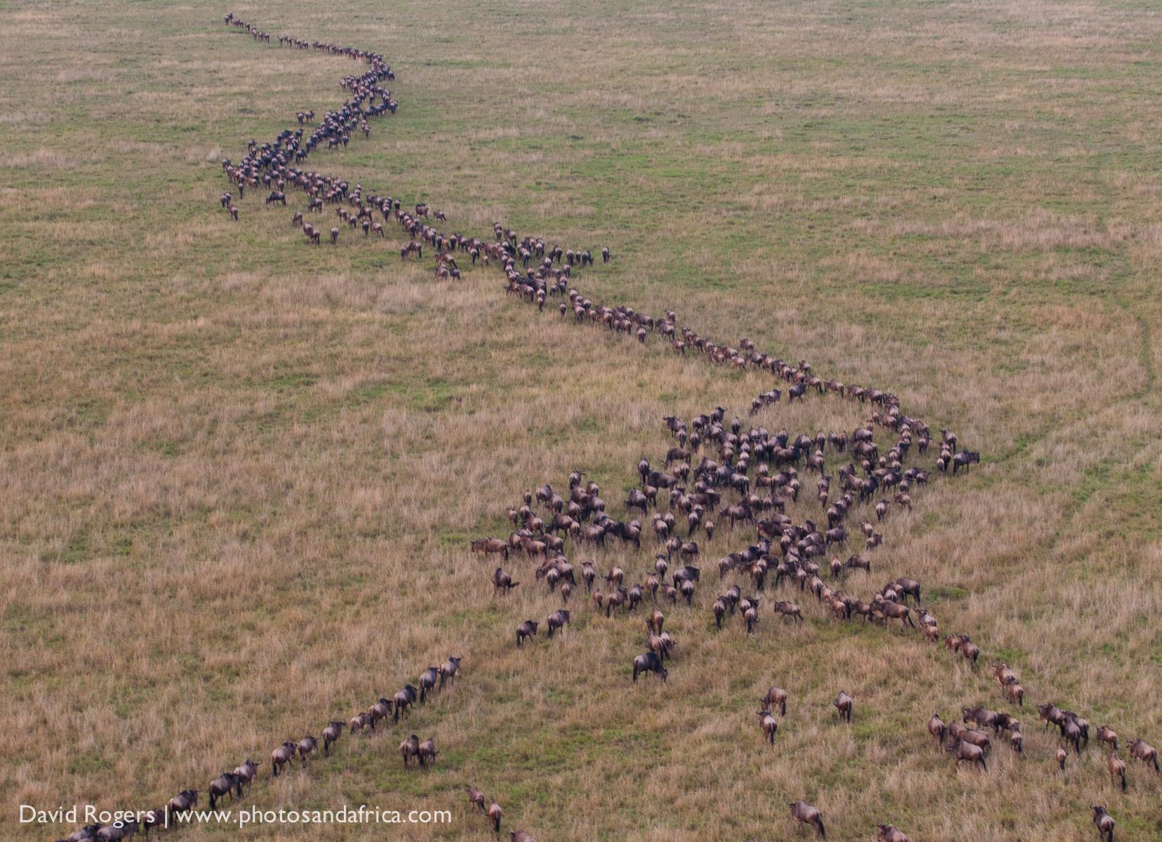 Masai Mara, wildebeest,