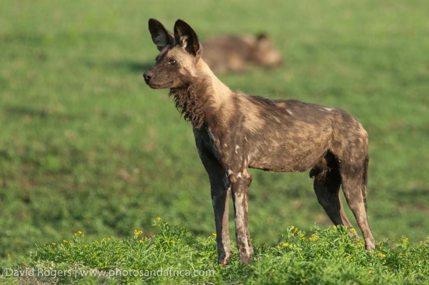 Zambia, Liuwa Plains National Park, wild dog