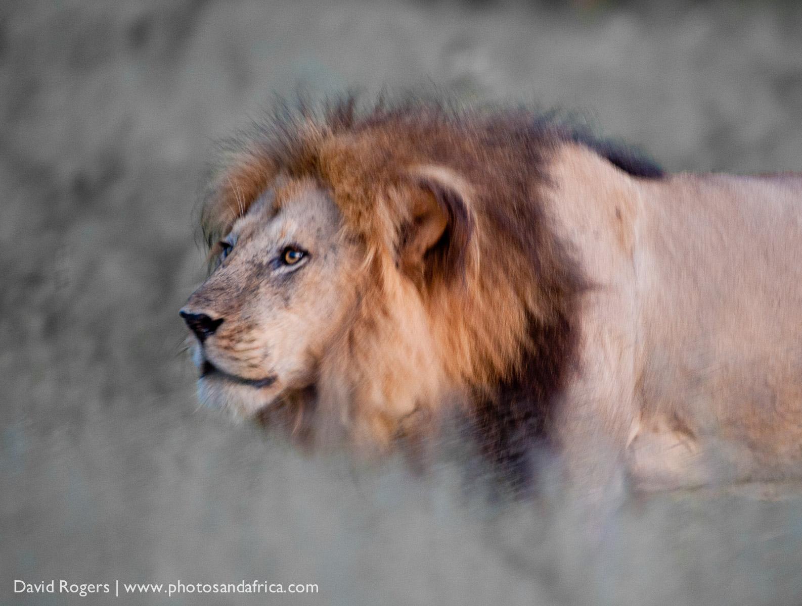 Botswana, Chief's Island, Moremi Game, brothers, lion, male Reserve © David Rogers