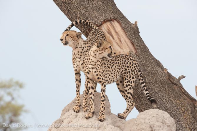 Cheetah in Okavango
