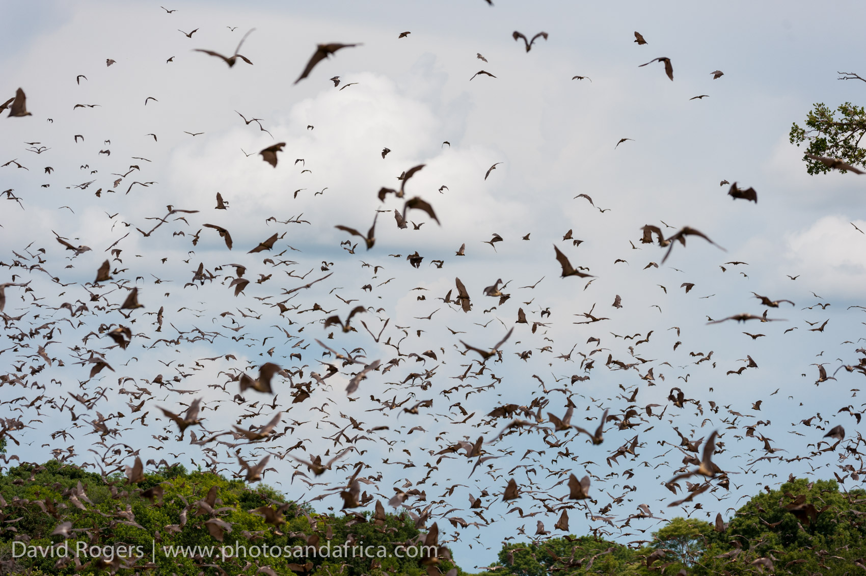 Kasanka fruit bat migration