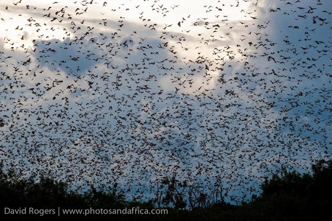 bat migration kasanka