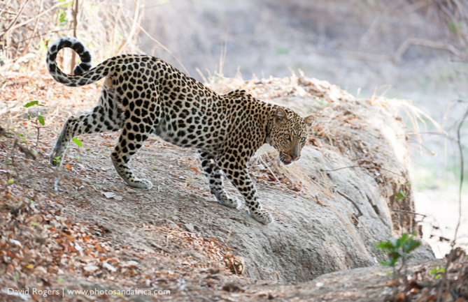 Zambia, South Luangwa National Park, leopard on hippo carcass