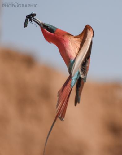 Carmine bee-eater midair capture