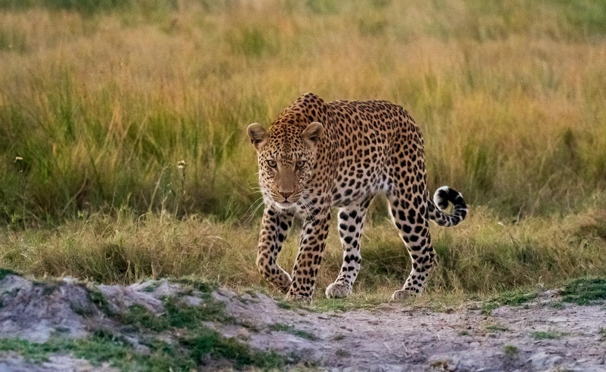 Leopard sighting near Tuludi, Khwai River, by David Rogers