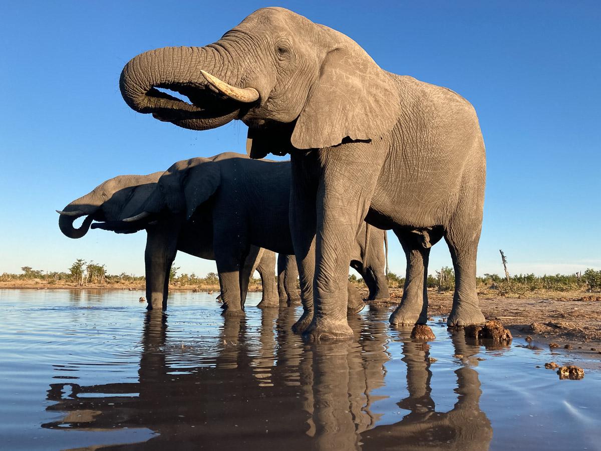 Toenail views of elephants at the hide at Khwai River by David Rogers